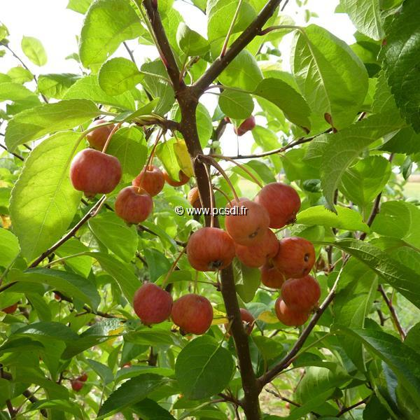 Malus PERPETUE ® \'Evereste\'