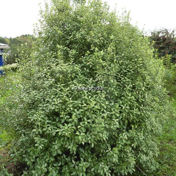 Pittosporum tenuifolium \'Irène Paterson\' C4L 30/40