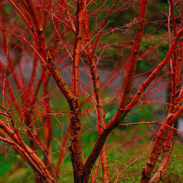Acer palmatum \'Sango-kaku\'