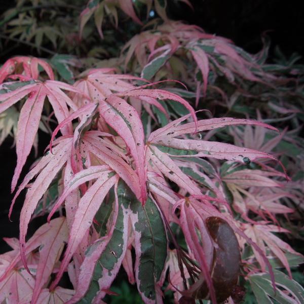 Acer palmatum \'Shirazz\' ® C15L 125/150