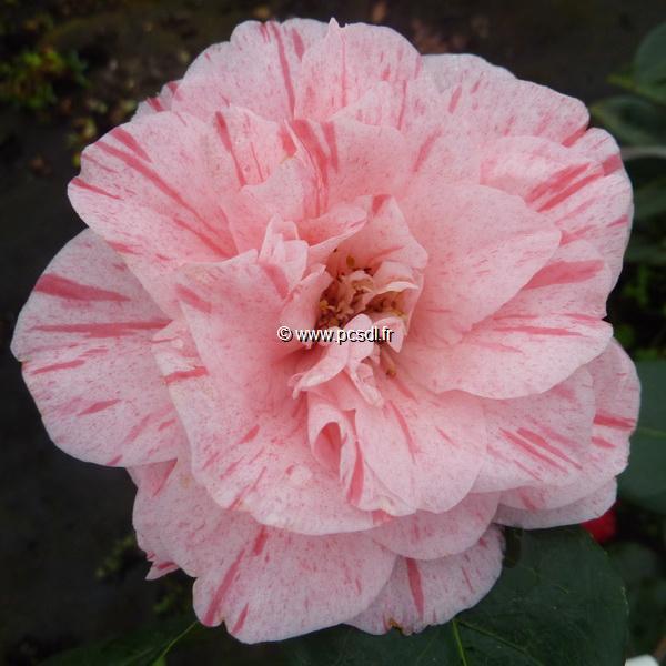 Camellia japonica \'Carter\'s Sunburst\'