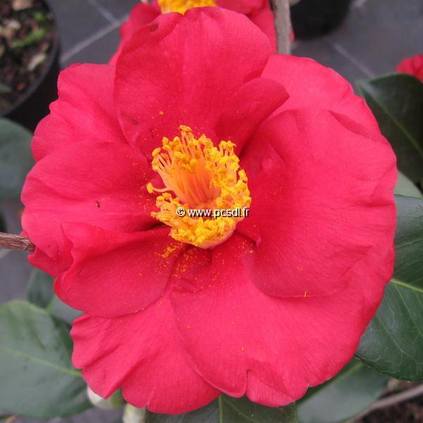 Camellia japonica \'San Dimas\'