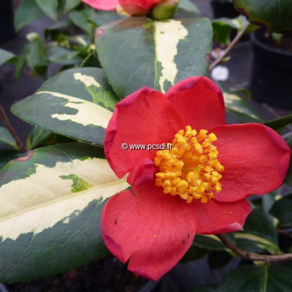 Camellia japonica ssp. rusticana \'Reigyoku\' 40/50 C7,5L