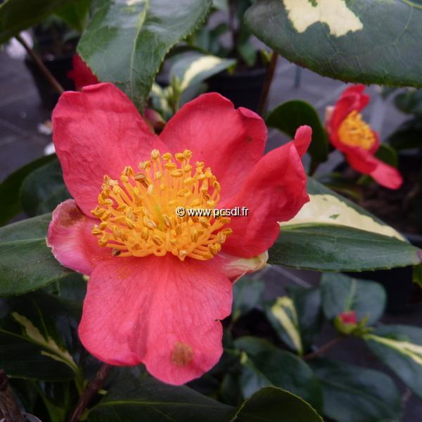 Camellia japonica ssp. rusticana \'Reigyoku\' 30/40 C5L
