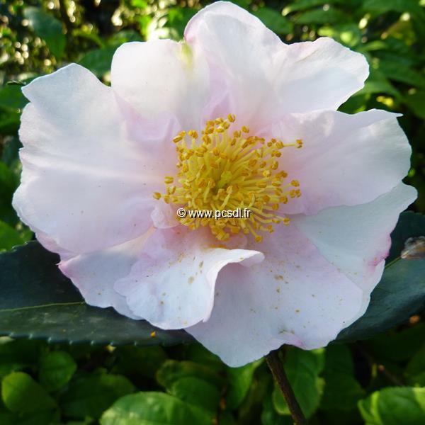 Camellia sasanqua \'Anne Françoise\'