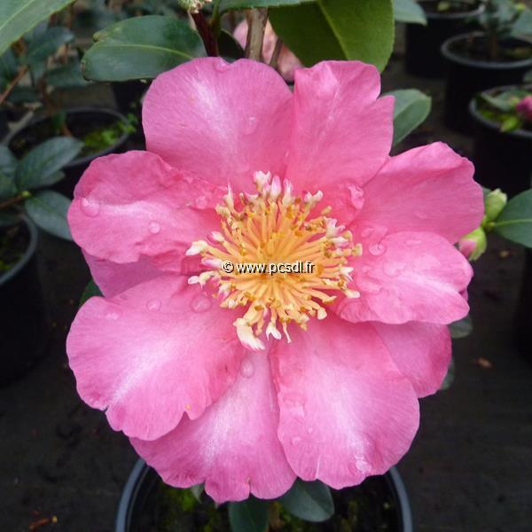 Camellia sasanqua \'Belinda\'