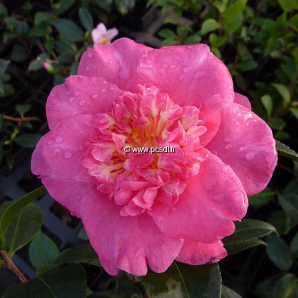 Camellia sasanqua \'Belinda\' C7L 60/80