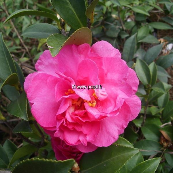 Camellia sasanqua \'Bert Jones\'