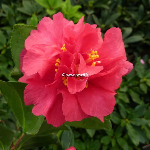 Camellia sasanqua var. hiemalis \'Bonanza\' C7L 60/80