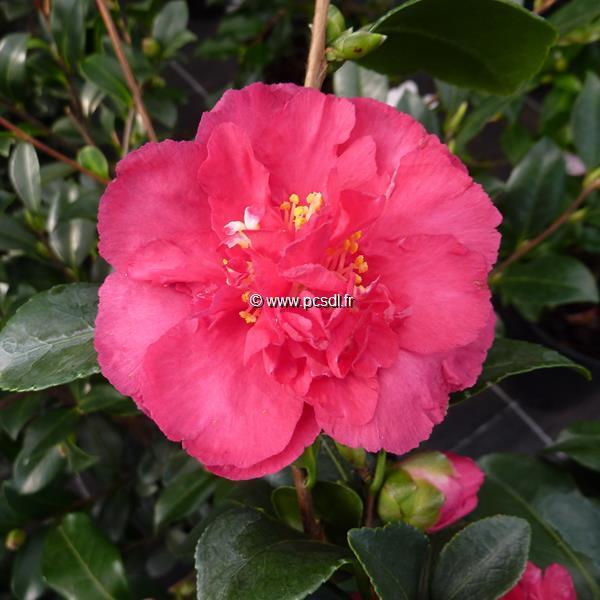 Camellia sasanqua var. hiemalis \'Bonanza\'