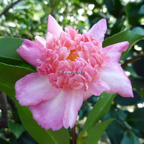 Camellia sasanqua \'Choji Guruma\'