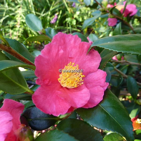 Camellia sasanqua \'Crimson King\' C7L 60/80