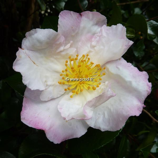 Camellia sasanqua \'Day Dream\'