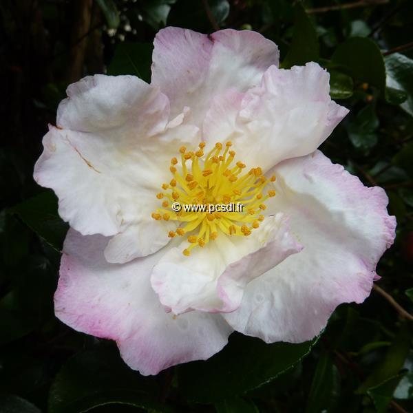 Camellia sasanqua \'Day Dream\'
