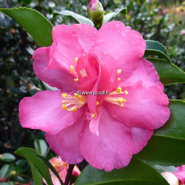 Camellia sasanqua var. hiemalis \'Dazzler\' C20L 80/100