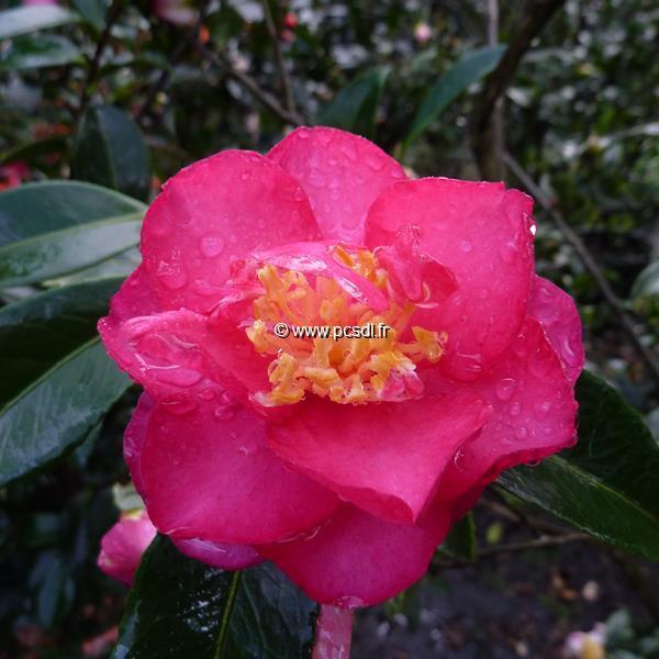 Camellia sasanqua var. hiemalis \'Dazzler\'