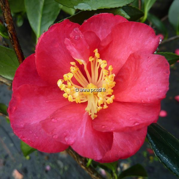 Camellia sasanqua \'Dot Spengler\'