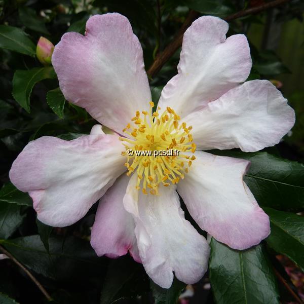 Camellia sasanqua \'Duff Alan\'