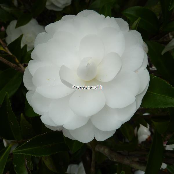 Camellia sasanqua \'Early Pearly\' C20L 60/80