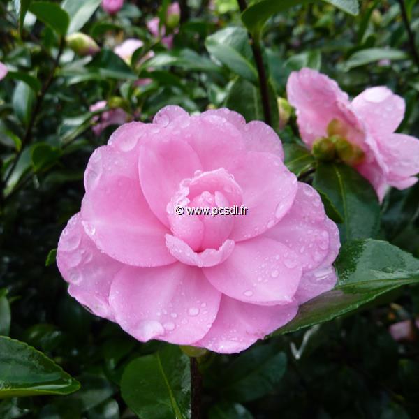 Camellia sasanqua \'Fanny\' C20L 80/100