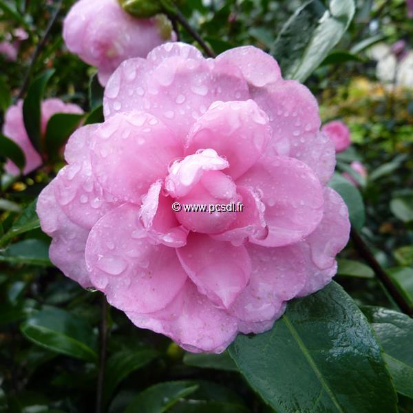 Camellia sasanqua \'Fanny\'