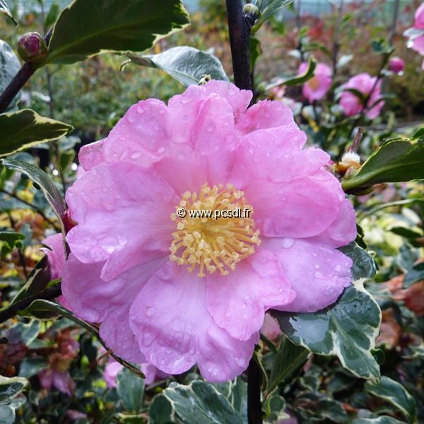 Camellia sasanqua \'Hana Daijin Benten\' C30L 150/175