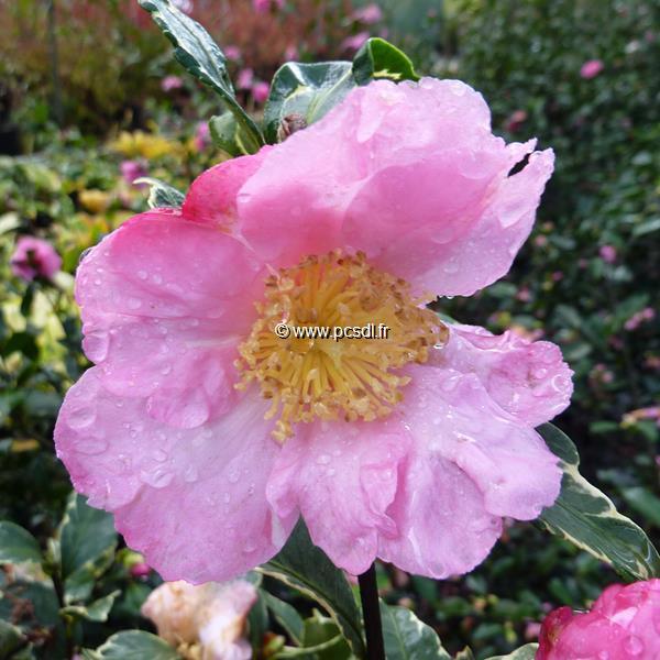 Camellia sasanqua \'Hana Daijin Benten\'