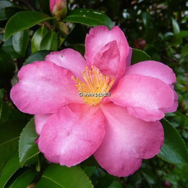 Camellia sasanqua \'Hiryu\'