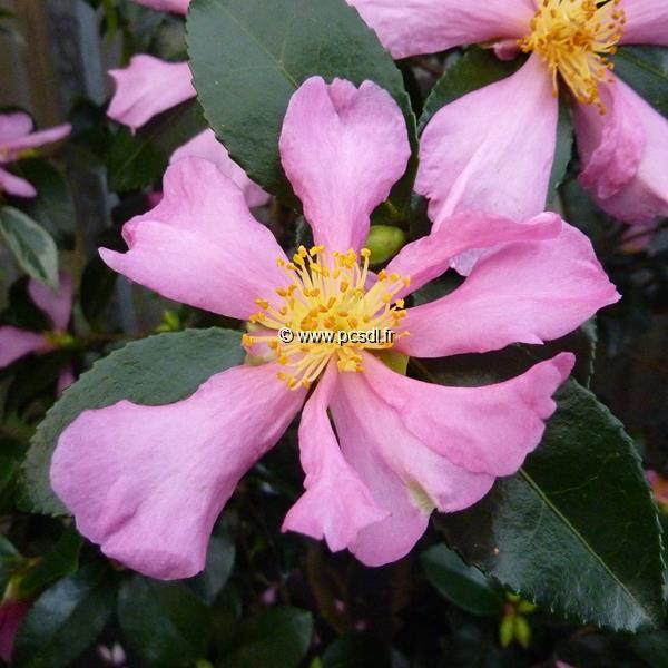 Camellia sasanqua \'Hugh Evans\'