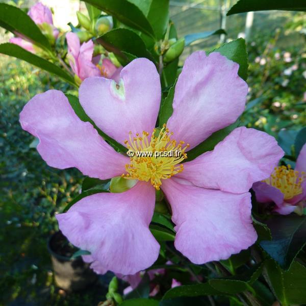 Camellia sasanqua \'Hugh Evans\' C5L 30/40