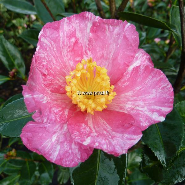 Camellia sasanqua \'Ishtar\' C20L 150/175