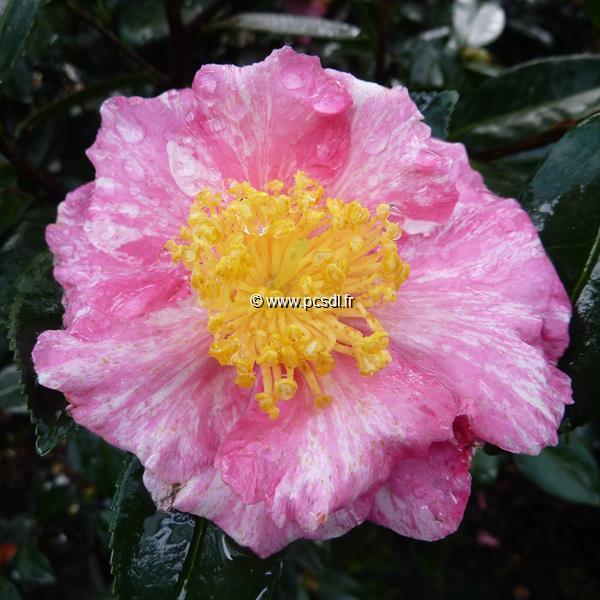 Camellia sasanqua \'Ishtar\' C15L 80/100
