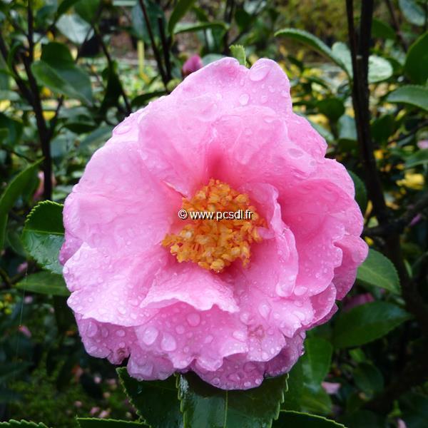 Camellia sasanqua \'Jennifer Susan\'