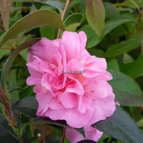 Camellia sasanqua \'Jennifer Susan\' C20L 125/150