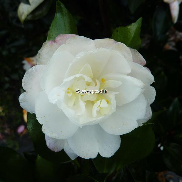Camellia sasanqua \'Kogyoku\' C20L 100/125