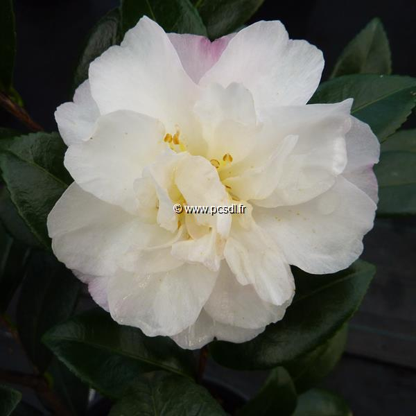 Camellia sasanqua \'Little Pearl\'
