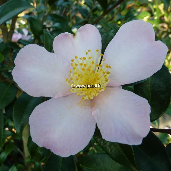 Camellia sasanqua \'Maiden\'s Blush\'