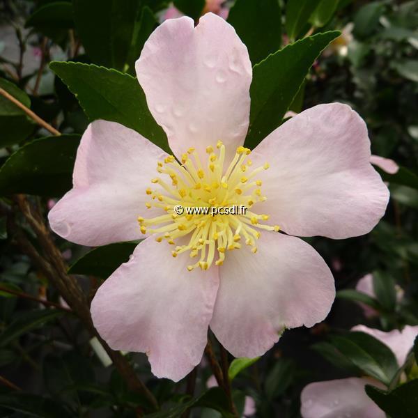 Camellia sasanqua \'Maiden\'s Blush\' C30L 150/175