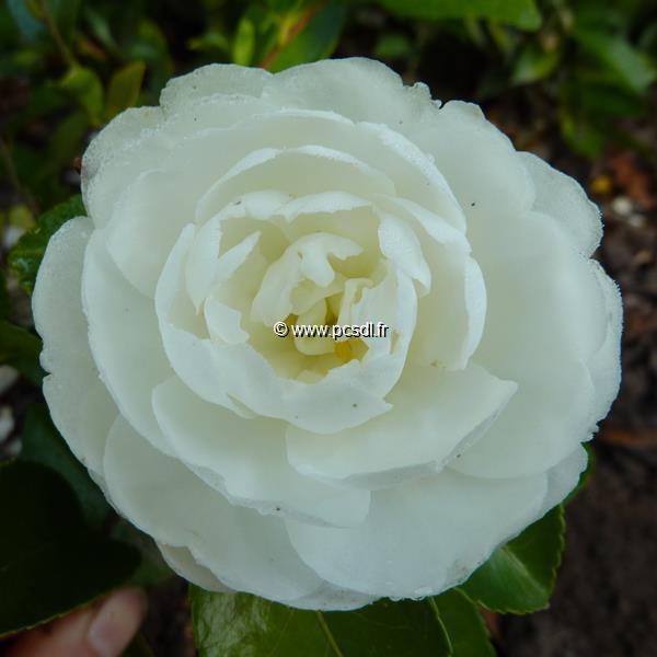 Camellia sasanqua \'Mine no Yuki\'