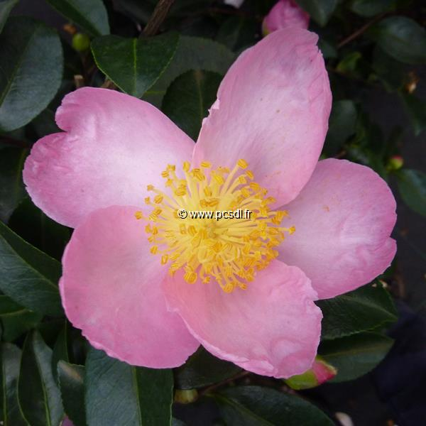 Camellia sasanqua \'Misty Moon\' C15L 80/100