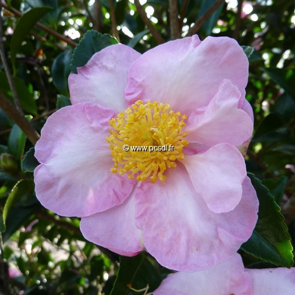 Camellia sasanqua \'Momozono Nishiki\' C15L 100/125