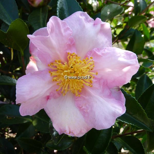 Camellia sasanqua \'Momozono Nishiki\'