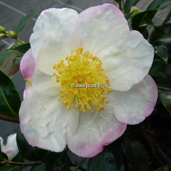 Camellia sasanqua \'Narumi-gata\'