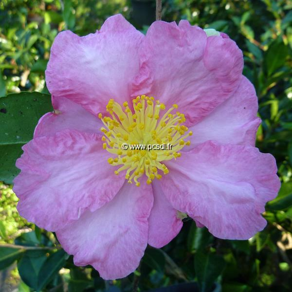 Camellia sasanqua \'Nodami Ushiro\' C4L 40/60