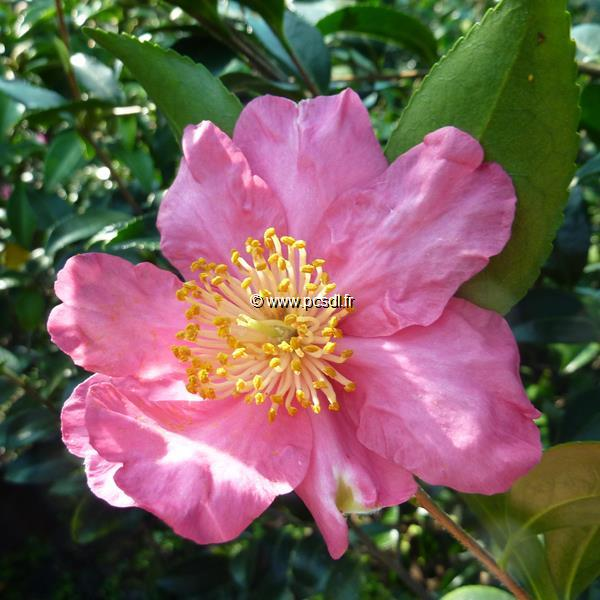 Camellia sasanqua \'Nodami Ushiro\' C30L 100/125