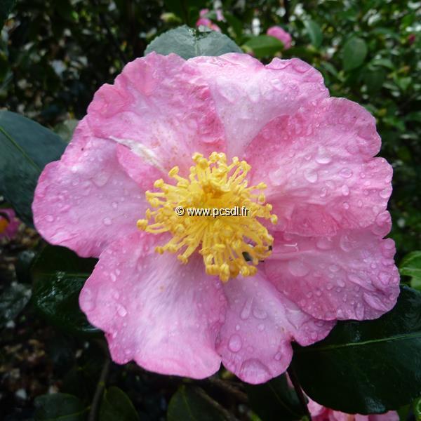 Camellia sasanqua \'Nodami Ushiro\'