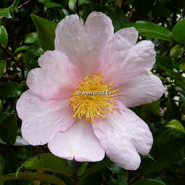 Camellia sasanqua \'Papaver\' C20L 125/150