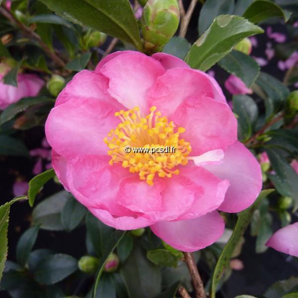Camellia sasanqua \'Sandra\'