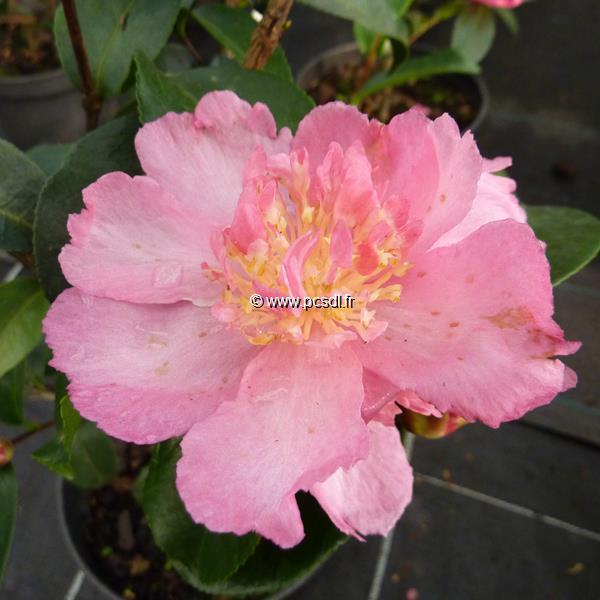 Camellia sasanqua \'Shinonome\'