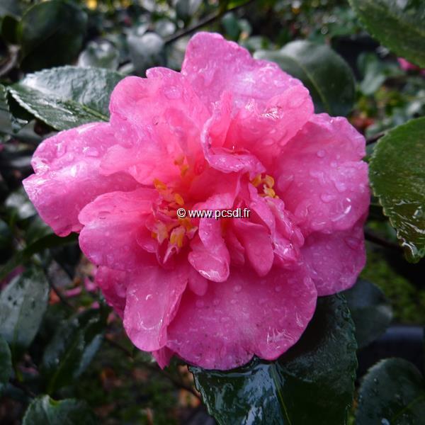 Camellia sasanqua var. hiemalis \'Sparkling Burgundy\'